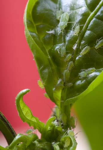 Aphids on Habanero