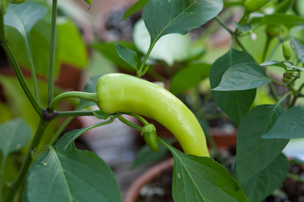 UnRipe Cayenne Chilli