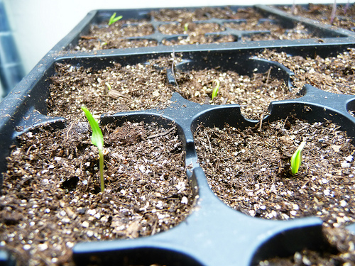 Chilli Pepper Germination