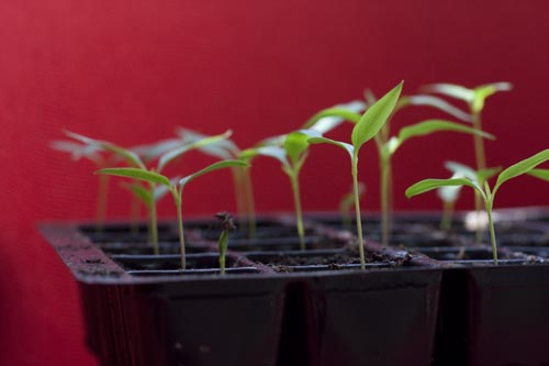 Germinated Chilli Seedlings
