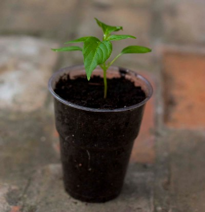 Potted On Chilli Plant