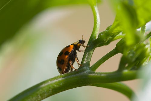 Searching For Aphids