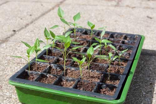 Leggy Chilli Seedlings
