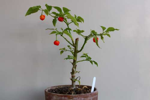 Over wintered Scotch Bonnet Pepper