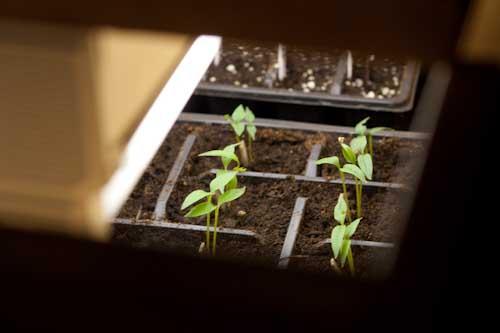 Peeping inside the grow box at pepper seedlings
