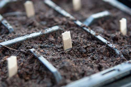 Planted Wahaca Chilli Seeds