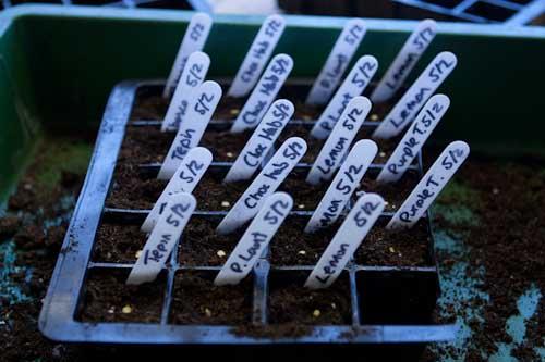 More Chilli Seedlings