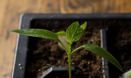 Serrano Seedling