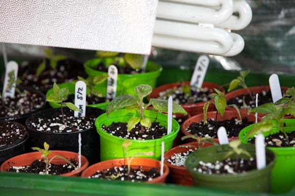 Chilli Plant Progress