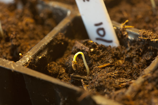 Chilli Germinating