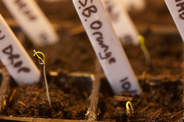 Germinating Chilli Seedlings