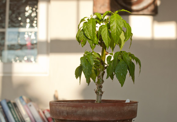 Overwintered Scotch Bonnet