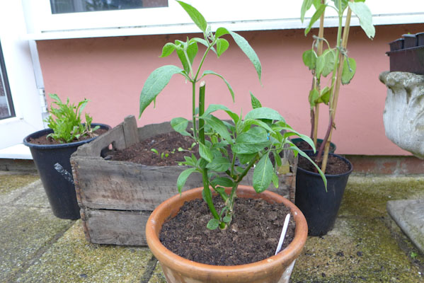 Hardening Off Chilli Plants