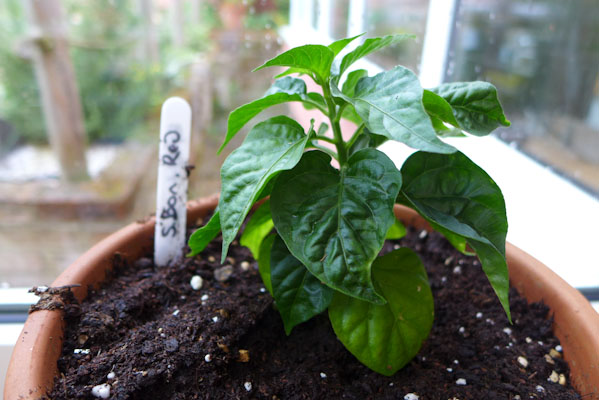 Scotch Bonnet Red Plant
