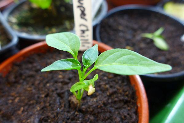 Super Chilli Plant