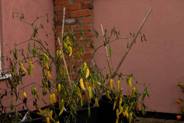 Aji Lemon Plant