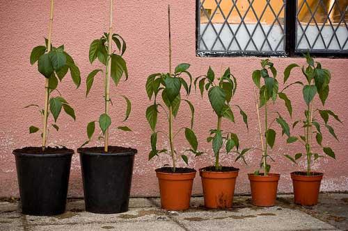 Chilli Plant Pot Size Experiment